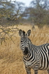TANZANIA, Serengeti National Park, Zebra, TAN849JPL