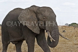 TANZANIA, Serengeti National Park, bull Elephant, TAN813JPL