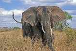 TANZANIA, Serengeti National Park, bull Elephant, TAN814JPL