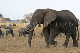 TANZANIA, Serengeti National Park, bull Elephant, TAN815JPL