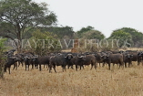 TANZANIA, Serengeti National Park, herd of Buffalo, TAN829JPL