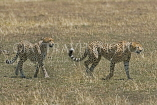 TANZANIA, Serengeti National Park, pair of Cheetahs, TAN840JPL