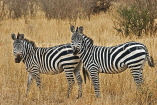 TANZANIA, Serengeti National Park, pair of Zebras, TAN841JPL