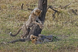 TANZANIA, Serengeti National Park, two Cheetah cubs playing, TAN847JPL