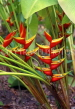 TOBAGO, Heliconia (crab claw flowers), CAR1187JPL