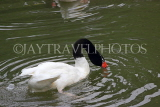 Taiwan, TAIPEI, Taipei Zoo, Bird World, Black-Necked Swan, TAW336JPL