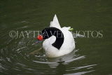 Taiwan, TAIPEI, Taipei Zoo, Bird World, Black-Necked Swan, TAW337JPL