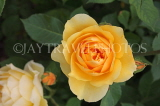 UK, Hampshire, WINCHESTER, Abbey Gardens, yellow orange Rose, UK8590JPL