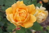 UK, Hampshire, WINCHESTER, Abbey Gardens, yellow orange Rose, UK8591JPL