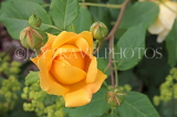 UK, Hampshire, WINCHESTER, Abbey Gardens, yellow orange Rose, UK8592JPL