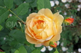 UK, Hampshire, WINCHESTER, Abbey Gardens, yellow orange Rose, UK8593JPL