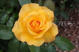 UK, Hampshire, WINCHESTER, Abbey Gardens, yellow orange Rose, UK8599JPL