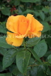 UK, Hampshire, WINCHESTER, Abbey Gardens, yellow orange Rose, UK8600JPL