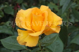 UK, Hampshire, WINCHESTER, Abbey Gardens, yellow orange Rose, UK8601JPL