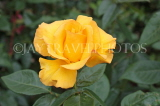 UK, Hampshire, WINCHESTER, Abbey Gardens, yellow orange Rose, UK8602JPL