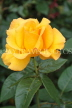 UK, Hampshire, WINCHESTER, Abbey Gardens, yellow orange Rose, UK8604JPL