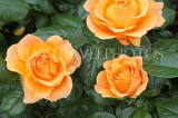 UK, Hampshire, WINCHESTER, Abbey Gardens, yellow orange Roses, UK8596JPL