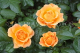 UK, Hampshire, WINCHESTER, Abbey Gardens, yellow orange Roses, UK8597JPL