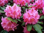 UK, Kent, Hever Castle gounds, pink Rhododendron flowers, UK7413JPL