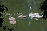 UK, LONDON, Battersea Park, lakeside, swan with cygnets, UK10174JPL