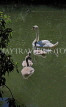 UK, LONDON, Battersea Park, lakeside, swan with cygnets, UK10176JPL