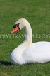 UK, LONDON, Hampton, Bushy Park, Swan, UK21486JPL