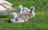 UK, LONDON, Hampton, Bushy Park, Swan, cygnets, UK21531JPL