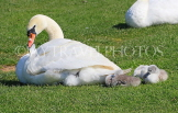 UK, LONDON, Hampton, Bushy Park, Swan and cygnets, UK21530JPL