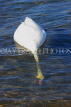 UK, LONDON, Hyde Park, Serpentine lake, Swan foraging, UK27612JPL