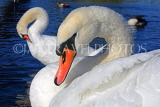 UK, LONDON, Kensington Gardens, Round Pond, Swan, closeup, UK1072JPL