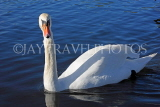 UK, LONDON, Kensington Gardens, Round Pond, Swan swimming, UK1074JPL