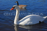 UK, LONDON, Kensington Gardens, Round Pond, Swan swimming, UK1075JPL