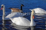 UK, LONDON, Kensington Gardens, Round Pond, Swans and Duck swimming, UK1075JPL