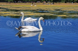 UK, LONDON, Kensington Gardens, Round Pond, and swans swimming, UK9092JPL