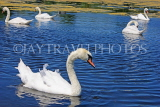 UK, LONDON, Kensington Gardens, Round Pond, and swans swimming, UK9096JPL