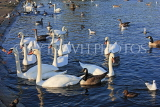 UK, LONDON, Kensington Gardens, The Round Pond, and Swans, UK12047JPL