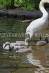 UK, LONDON, St James's Park, lakeside, Swan with her cygnets, chicks, UK19883JPL