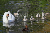 UK, LONDON, St James's Park, lakeside, Swan with her cygnets, chicks, UK19885JPL