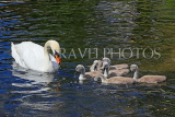 UK, LONDON, St James's Park, lakeside, Swan with her cygnets, chicks, UK19886JPL