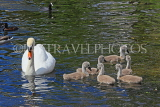 UK, LONDON, St James's Park, lakeside, Swan with her cygnets, chicks, UK19887JPL