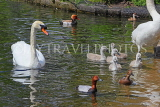 UK, LONDON, St James's Park, lakeside, Swans, Cygnets, and Ducks, UK19884JPL