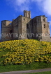 UK, Northumberland, WARKWORTH CASTLE and Daffodils, UK5671JPL
