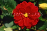UK, Sussex, Arundel, red Dahlia, UK7445JPL