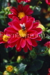 UK, Sussex, Arundel, red Dahlia, UK7447JPL