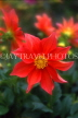 UK, Sussex, orange Dahlia, UK7451JPL