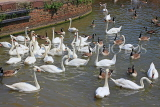 UK, Warwickshire, STRATFORD-UPON-AVON, River Avon, Swans, UK25491JPL