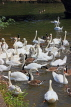 UK, Warwickshire, STRATFORD-UPON-AVON, River Avon, Swans, UK25492JPL