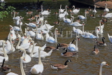 UK, Warwickshire, STRATFORD-UPON-AVON, River Avon, Swans, UK25493JPL