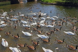 UK, Warwickshire, STRATFORD-UPON-AVON, River Avon, Swans and Geese, UK25495JPL