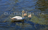 UK, Wiltshire, SALISBURY, Watermeadows, River Avon, swan and chicks, UK8177JPL